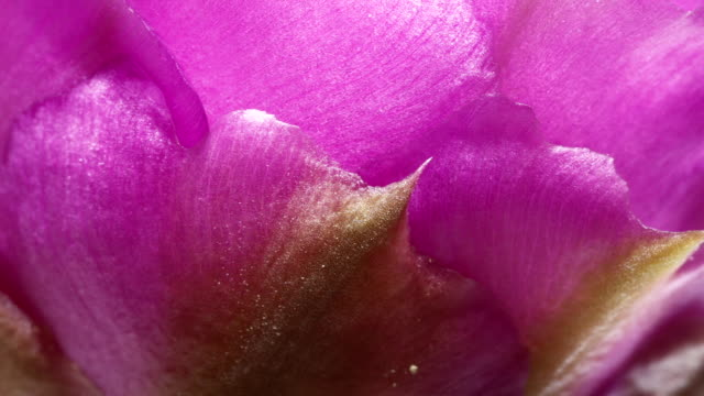 purple flower petals open - flowering cactus stock videos & royalty-free footage