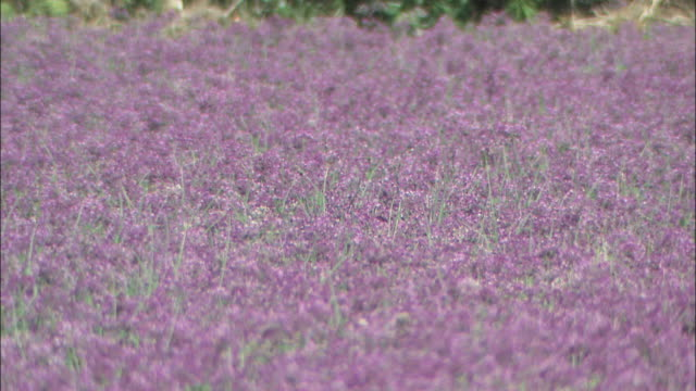 purple flowers cover a field of rakkyo plants. - tokushima prefecture stock videos & royalty-free footage