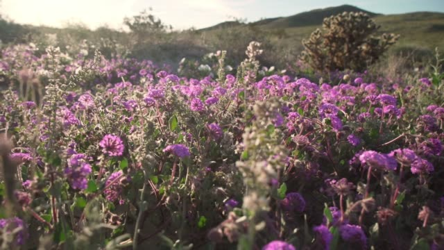 purple flowers in super bloom at anza-borrego desert state park - wildflower stock videos & royalty-free footage