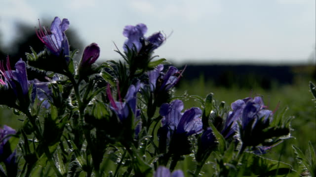 Purple flowers move in the breeze. Available in HD.
