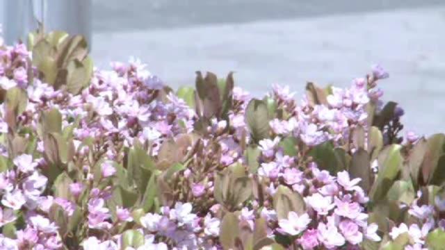 vídeos y material grabado en eventos de stock de purple flowers on march 18 2010 in dallas texas - hortensia