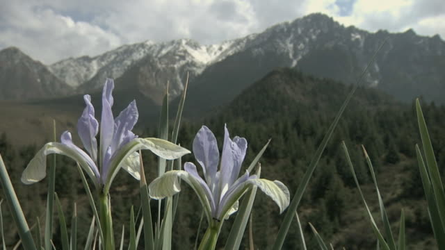 cu purple flowers with ants crawling in front of mountains / mati si, gansu, china - alm stock-videos und b-roll-filmmaterial