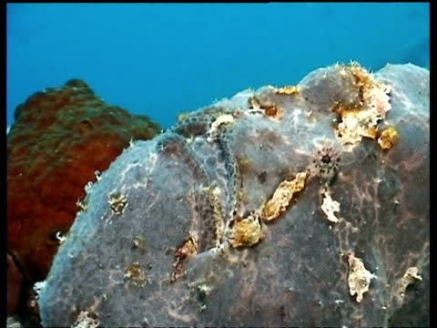 Purple Giant Frogfish, coughs releasing air bubbles, Pasir