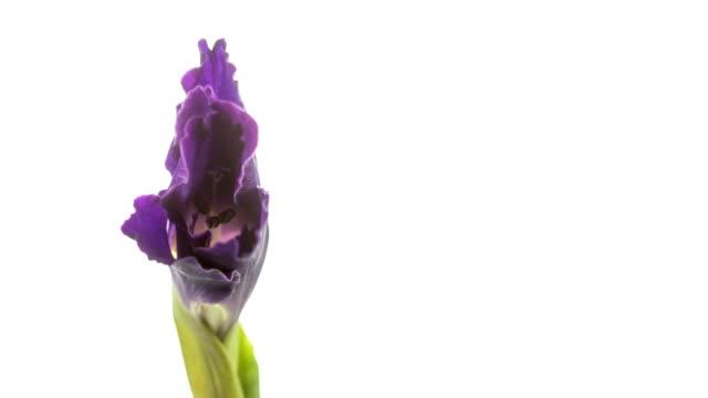 vídeos de stock e filmes b-roll de purple gladiola flower blooming. - gladiolus
