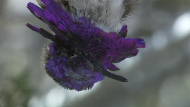 purple gorget of a dead costa hummingbird - upside down stock videos & royalty-free footage
