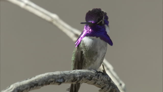vídeos de stock, filmes e b-roll de purple gorget of hummingbird - hummingbird