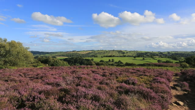 purple heather on stanton moor, peak district national park, derbyshire, england, uk - heather stock videos & royalty-free footage