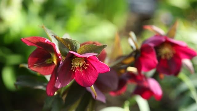 a purple hellebore in holehird gardens, flowering in spring, lake district, uk. - ranunculus stock videos & royalty-free footage