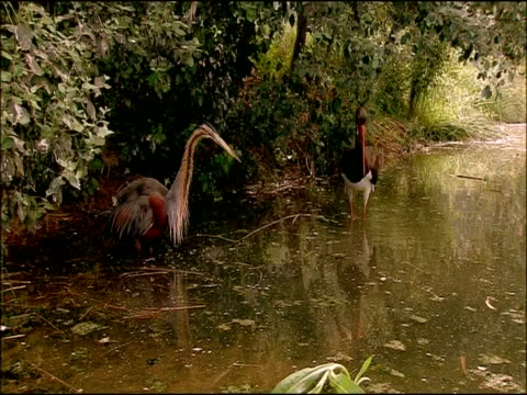 purple heron (ardea purpurea) and black stork (ciconia nigra) fishing together, parque natural sierras de cardena y montoro, andalusia, southern spain - parque natural stock videos and b-roll footage