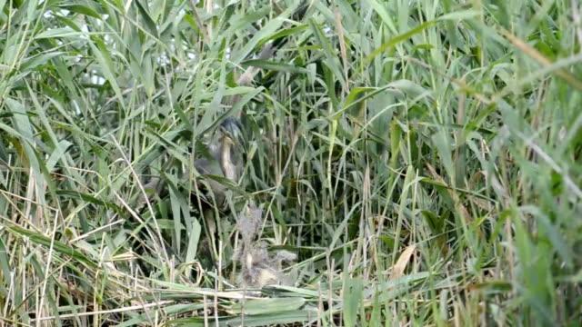 vídeos y material grabado en eventos de stock de garza imperial del nido - pantano zona húmeda