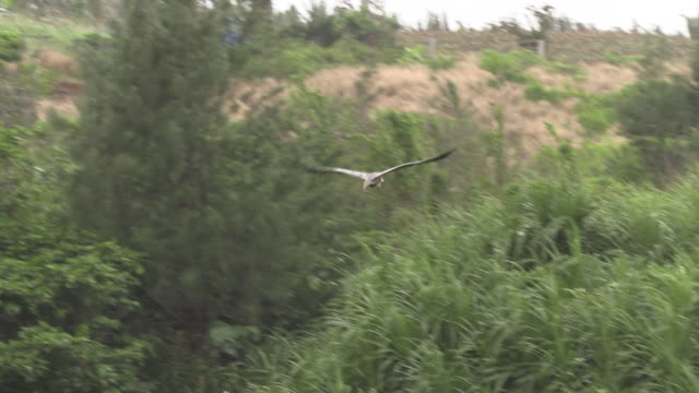 purple heron in okinawa - bunter reiher stock-videos und b-roll-filmmaterial