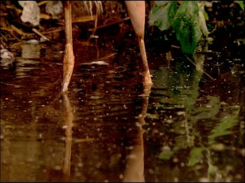 purple heron (ardea purpurea) legs in water; creeping, parque natural sierras de cardena y montoro, andalusia, southern spain - 長さ点の映像素材/bロール