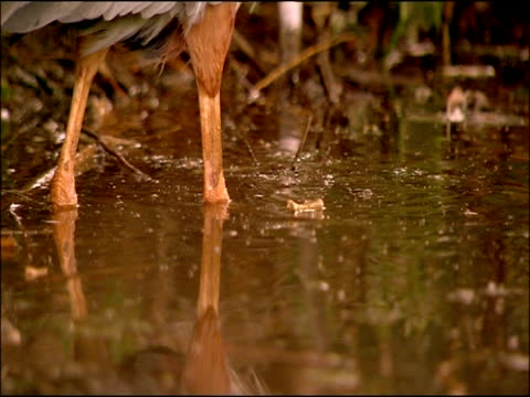 purple heron (ardea purpurea) legs in water; creeping, parque natural sierras de cardena y montoro, andalusia, southern spain - gliedmaßen körperteile stock-videos und b-roll-filmmaterial