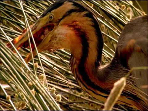 purple heron (ardea purpurea) swallowing fish, parque natural sierras de cardena y montoro, andalusia, southern spain - animal neck stock videos & royalty-free footage