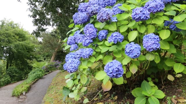 purple hydrangea bush in trelissick gardens near falmouth, cornwall, united kingdom. - purple stock videos & royalty-free footage