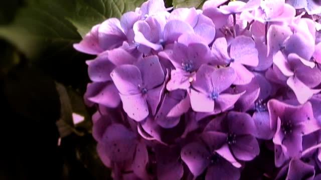 vídeos y material grabado en eventos de stock de púrpura hortensia en plena floración - hortensia
