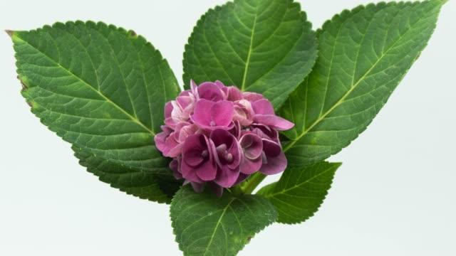 vídeos y material grabado en eventos de stock de púrpura hortensia - hortensia