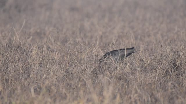 A purple ibis grazing through the grasslands in bharatpur