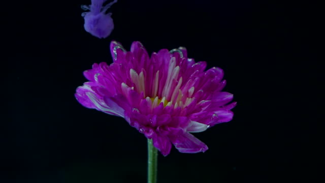 purple ink pouring to flower slow motion - porous stock videos & royalty-free footage