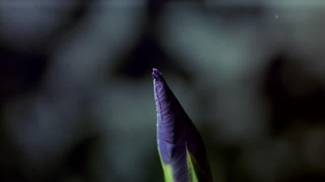 cu t/l  purple iris flower bud blooming  / studio city, california, usa - iris plant stock videos and b-roll footage