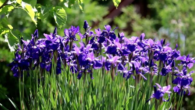 4k uhd purple iris flowers - iris plant stock videos & royalty-free footage