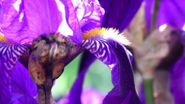 purple iris in bloom - close up - iris plant stock videos & royalty-free footage