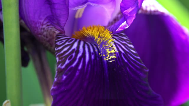 purple iris in bloom - close up - iris plant stock videos and b-roll footage