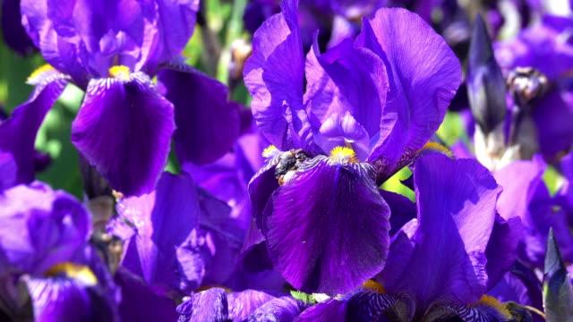 purple iris in bloom - iris plant stock videos & royalty-free footage