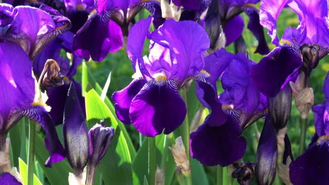 パープルアイリスの花々 - アヤメ属点の映像素材/bロール