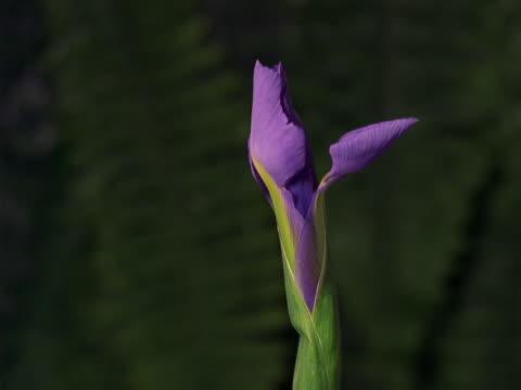 purple iris - murmursofearth点の映像素材/bロール