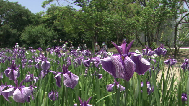 Purple irises bloom in a field at the Agricultural Park in Amagasaki, Japan.