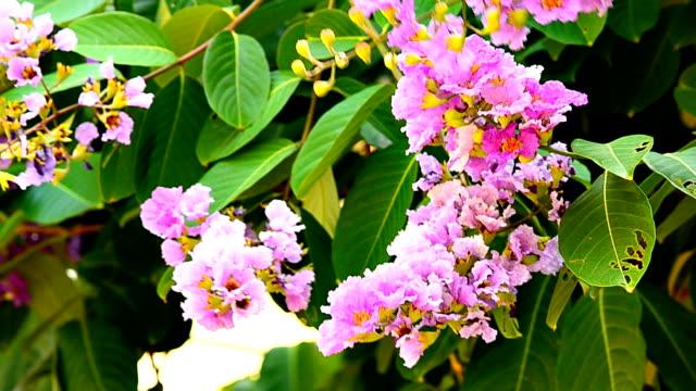 purple lagerstroemia flowers on green leaves - crepe myrtle tree stock videos and b-roll footage