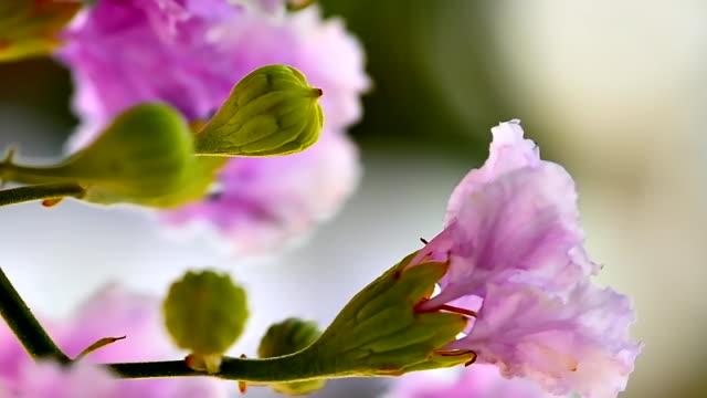 purple lagerstroemia flowers - crepe myrtle tree stock videos and b-roll footage