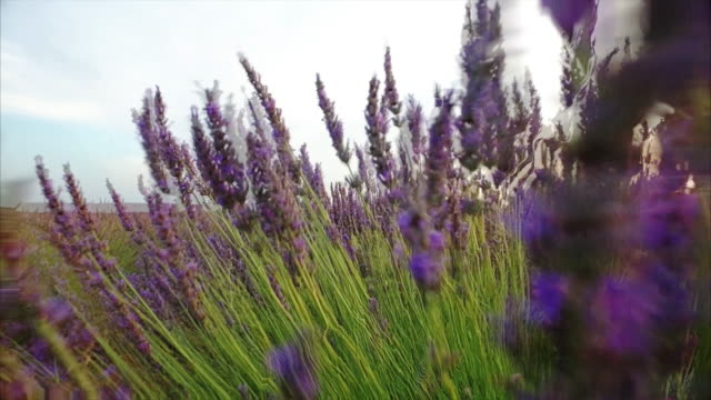 purple lavender field on a summer day in sunny france - lavender stock videos & royalty-free footage