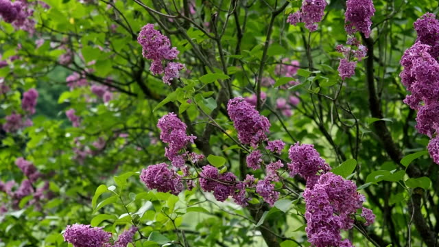 purple lilac flowers in the garden in hd - botany stock videos and b-roll footage