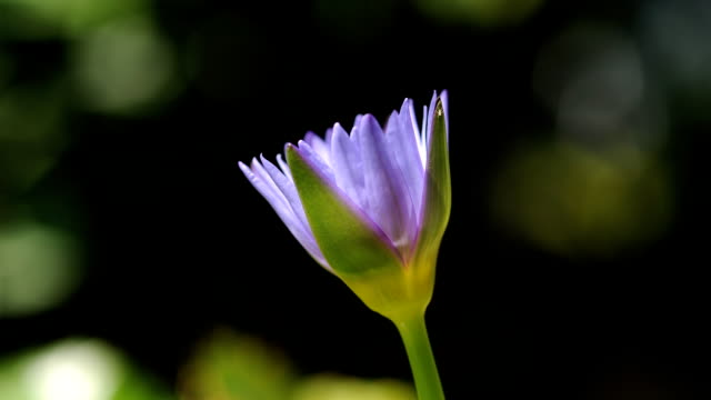 purple lotus blooming timelapse. - single flower stock videos & royalty-free footage