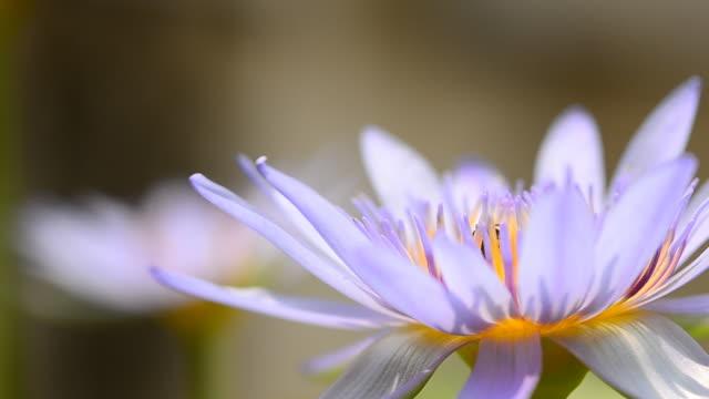 vídeos de stock, filmes e b-roll de roxo lotus - padrão natural