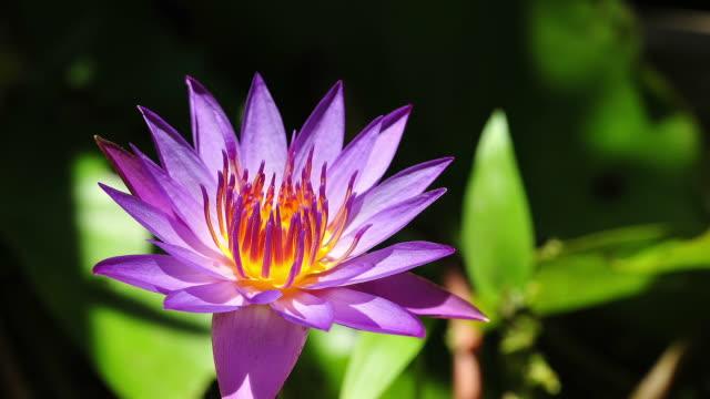 purple lotus - pistil stock videos & royalty-free footage