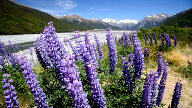 Purple lupins flower at arthur's pass national park , nature landscape background at new zealand