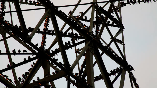 vidéos et rushes de purple martins gathering on tower - large group of animals