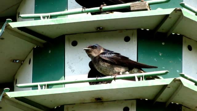 Purple Martins in Birdhouse