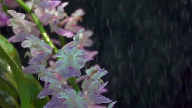 purple orchid in shower super slow motion - orchid stock videos and b-roll footage