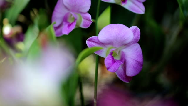 Purple orchid.