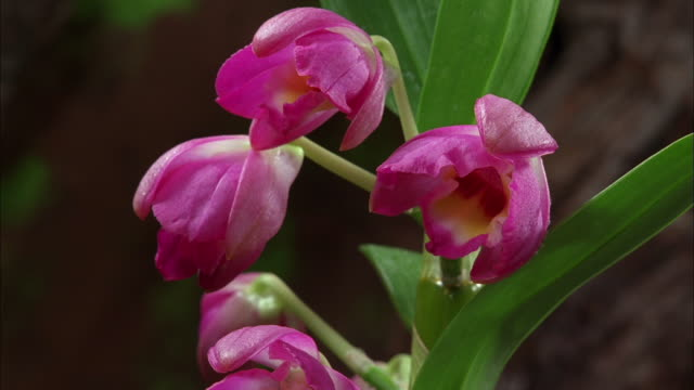 stockvideo's en b-roll-footage met purple orchids blossoming available in hd. - orchidee