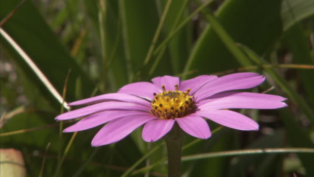 purple petals delicately bloom around the yellow center of a daisy in south africa. - daisy stock videos and b-roll footage