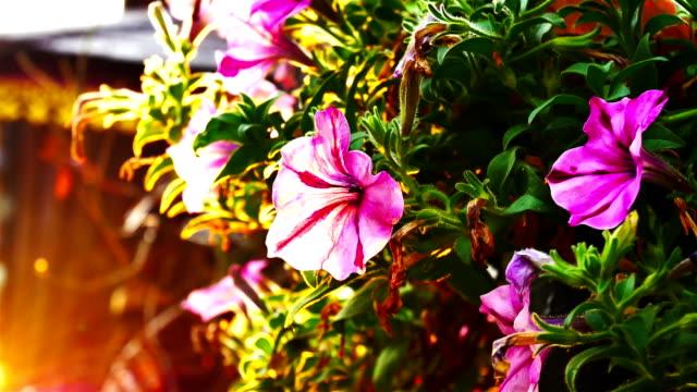 violette Petunien Blumen im Garten im Frühling.