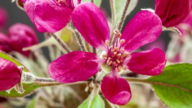 vídeos y material grabado en eventos de stock de príncipe manzano silvestre púrpura flor en un lapso de tiempo de flor abriéndose vídeo. - pistilo