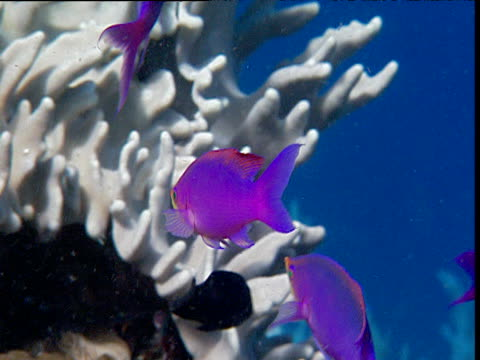 Purple queens are serviced by cleaner wrasse on reef, Sulawesi