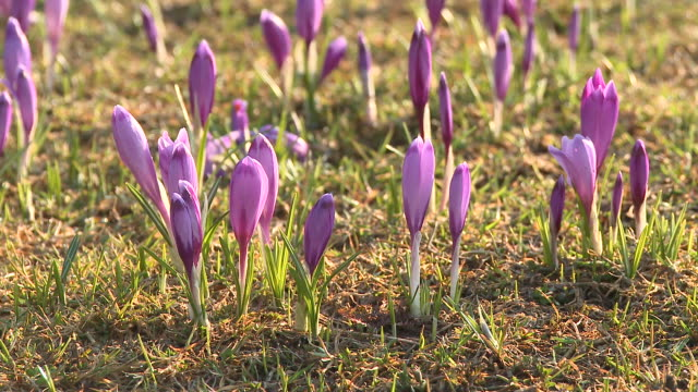 t/l cu purple saffron crocuses (crocus sativus) growing on field, vrhnika, slovenia - vrhnika stock videos and b-roll footage