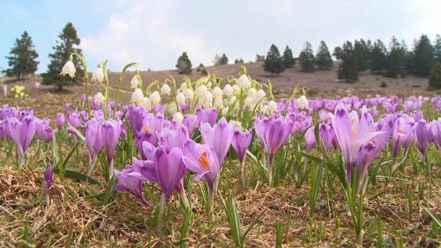 cu purple saffron crocuses (crocus sativus) growing on field, vrhnika, slovenia - vrhnika stock videos and b-roll footage